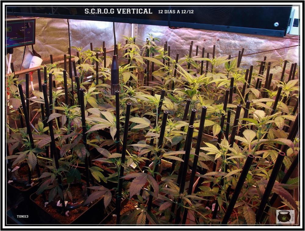 planta de marihuana con SCROG vertical 4