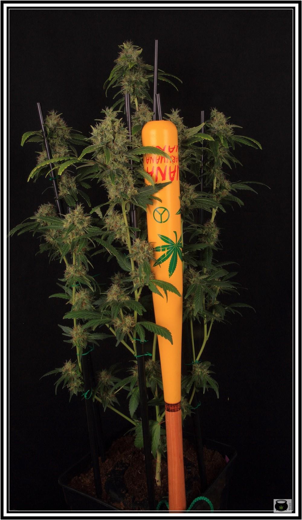 Poda apical con tutores planta de marihuana ultimate plant cage