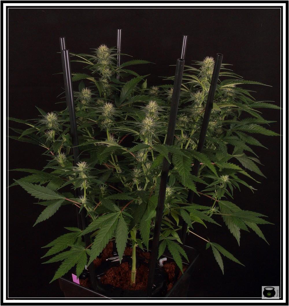 poda apical en planta de marihuana