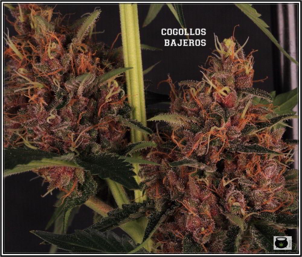variedad de marihuanaUNI X SANDSTORM 2