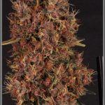 20- 29-7-2013 variedad de marihuanaUNI X SANDSTORM