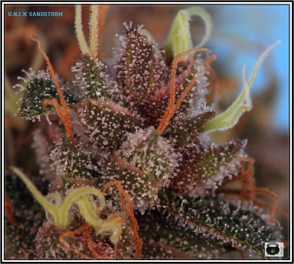 variedad de marihuanaUNI X SANDSTORM 5