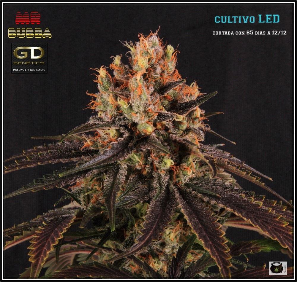 19- 27-7-2013  Dos armarios de cultivo de marihuana al mismo tiempo 1