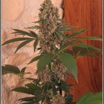 16- 20-7-2013 Variedad de marihuana U.N.I x Sandstorm 61 días a 12/12 LED