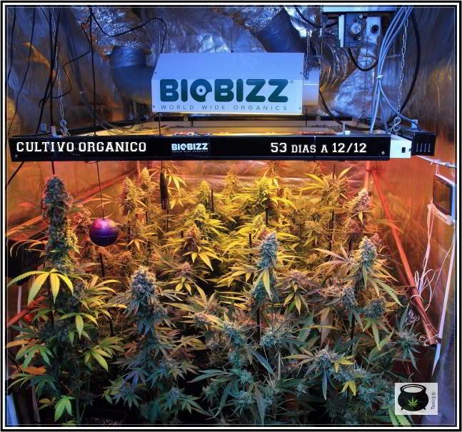 15- 20-7-2013 Ya queda poco para cosechar el cultivo de marihuana 1