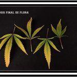 Clorosis – Tipos, naturales y problemas que la provocan en cultivos de marihuana