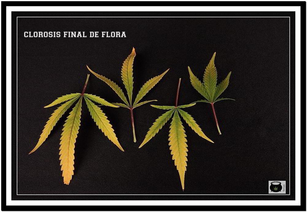 clorosis en hojas de marihuana después del lavado de raíces