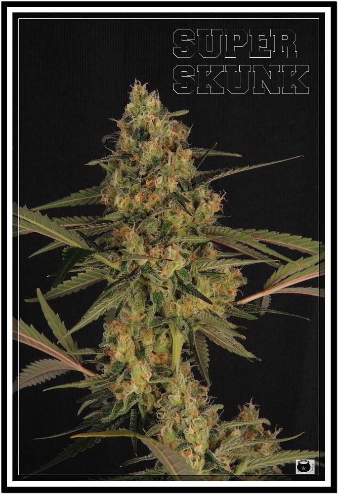 10- 11-7-2013 Armario grande Variedad de marihuana Super Skunk la joya