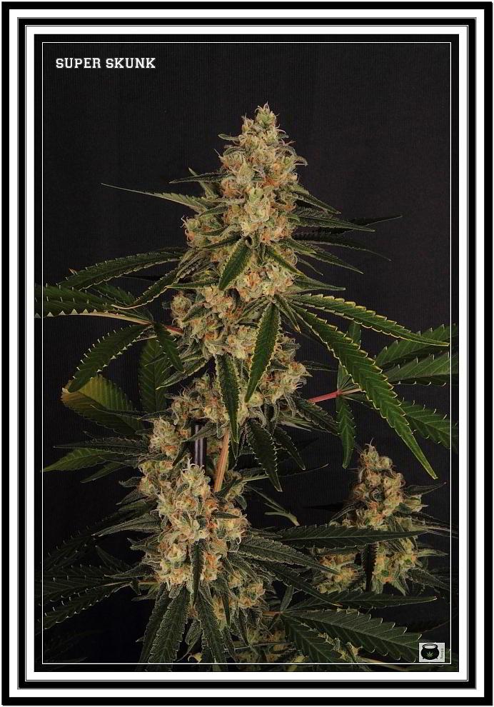 10- 11-7-2013 Armario grande Variedad de marihuana Super Skunk la joya 4