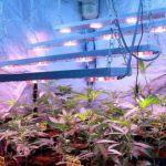Producción en cultivo interior de marihuana, Artículo Soft secrets 2013-4