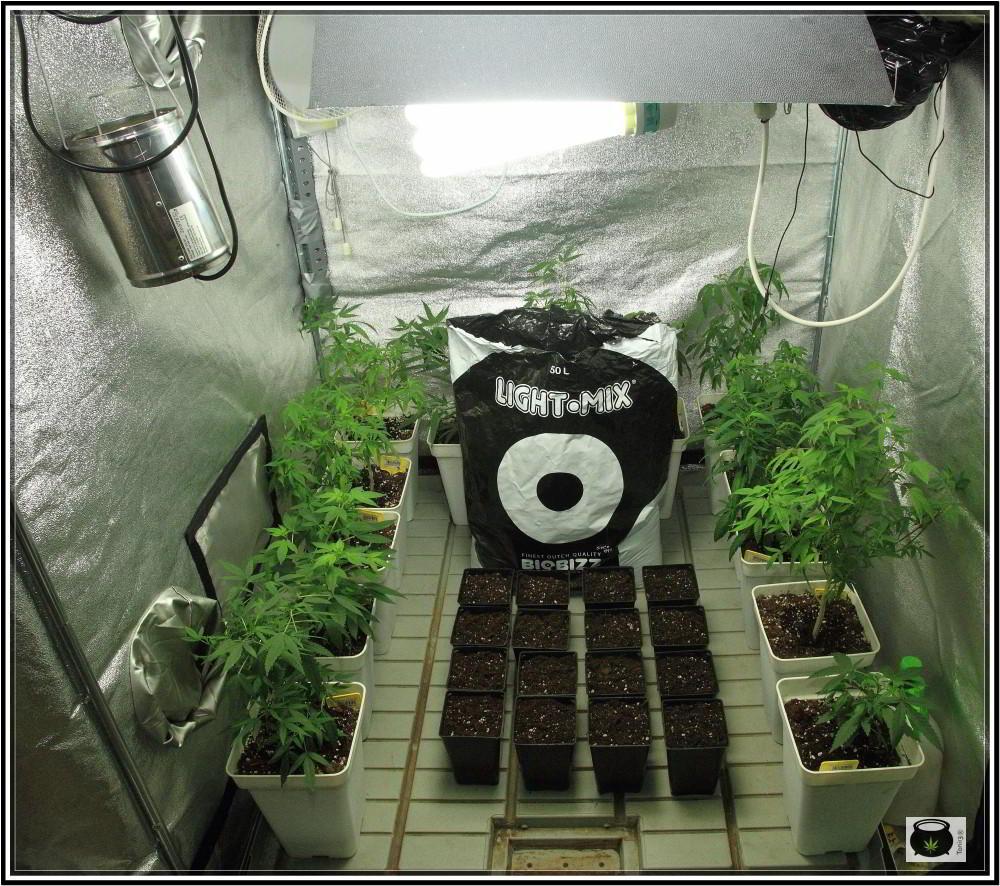 5- 28-8-2013 Enraizando plantas de marihuana directamente en contenedor de 1 litro 1