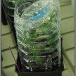 7- 30-8-2013 El detalle de la botella para enraizar esquejes de marihuana