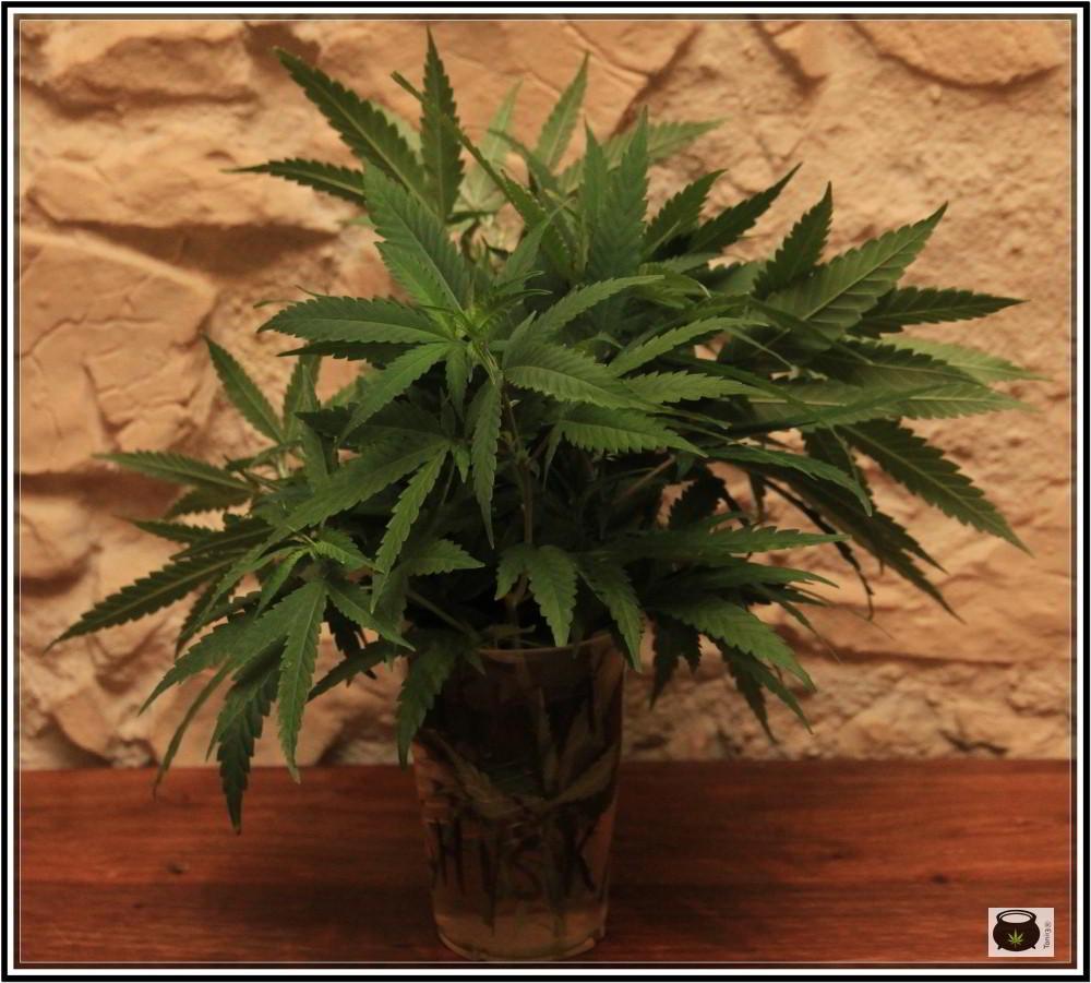 4- 27-8-2013 Comenzamos el cultivo de marihuana orgánico coco 2