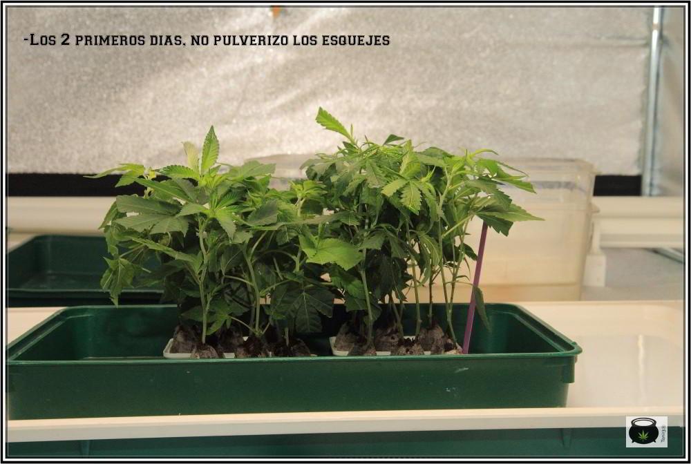 """29-8-2013 Plan """"B"""" Una 2º opción esquejes de marihuana enraizados 2"""