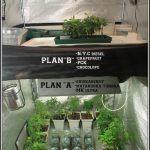 """6- 29-8-2013 Plan """"B"""" Una 2º opción esquejes de marihuana enraizados"""