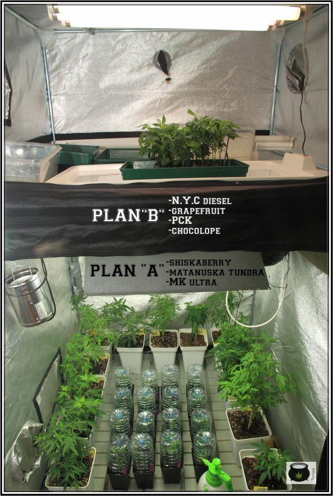 """29-8-2013 Plan """"B"""" Una 2º opción esquejes de marihuana enraizados 1"""