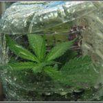 8- 31-8-2013 !Ábrete sésamo….! Esquejes de marihuana de botella en acción