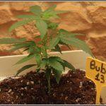 2- 21-8-2013  Presentación de la variedad de marihuana Bubba 13