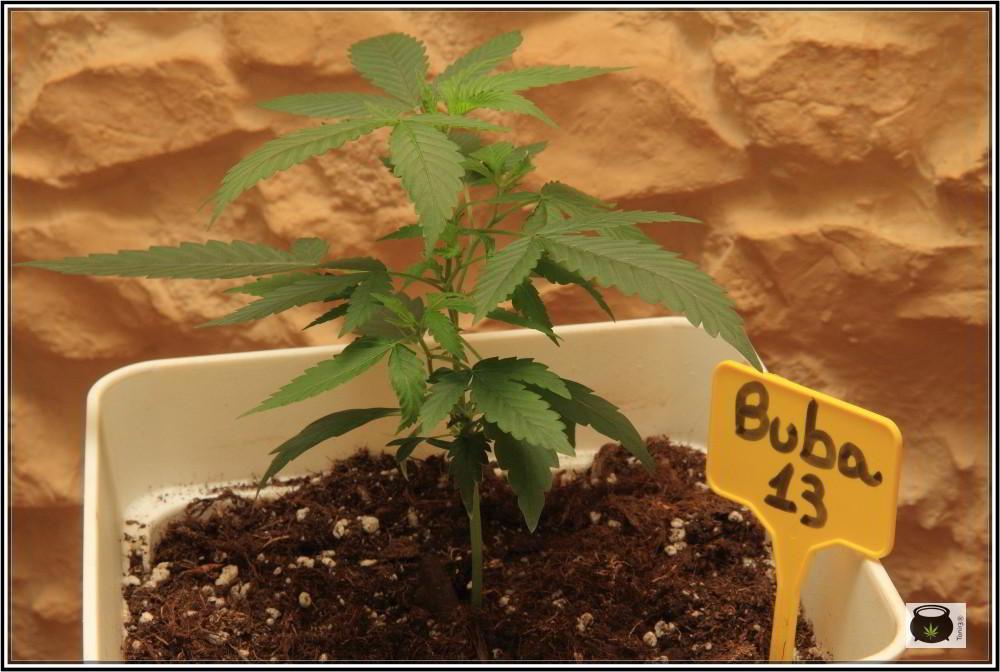 2- 21-8-2013 Presentación de la variedad de marihuana Bubba 13 1