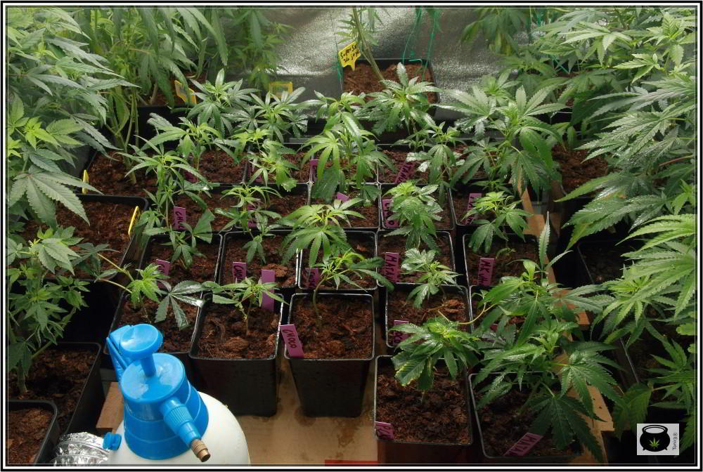 Guía cómo hacer esquejes de marihuana: Clones y esquejes de plantas de marihuana 2