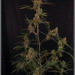 23- 3-8-2013 Variedad de marihuana Super Skunk selección la joya