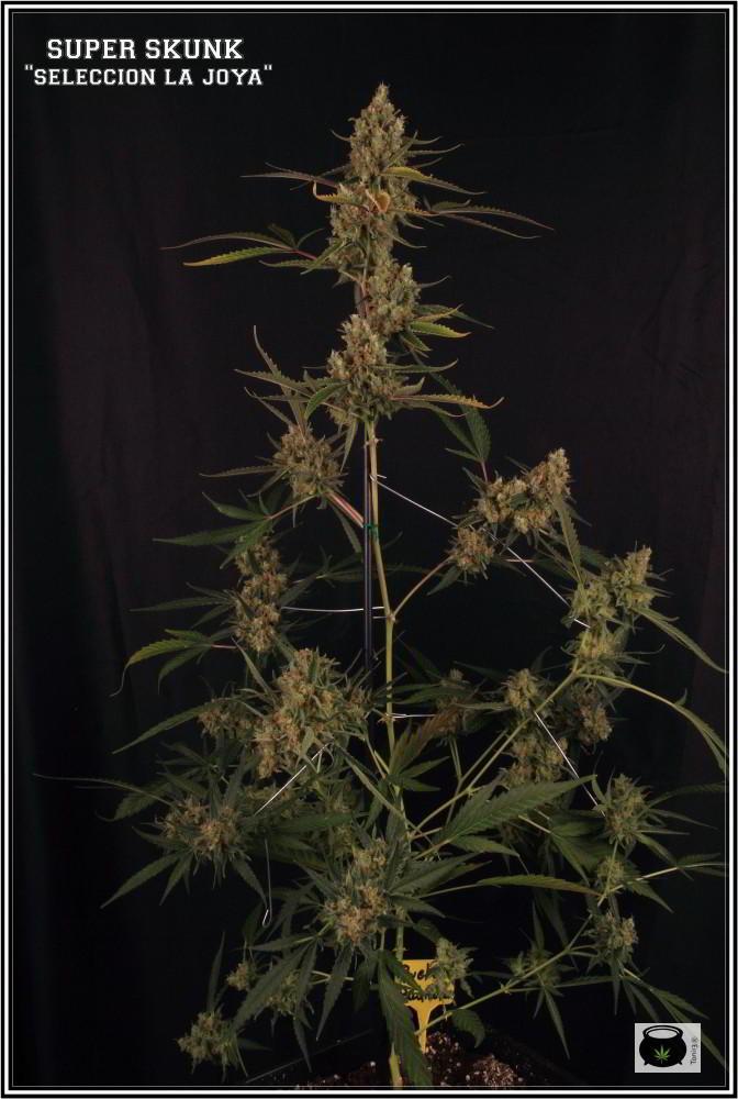 Variedad de marihuana Super Skunk selección la joya 1