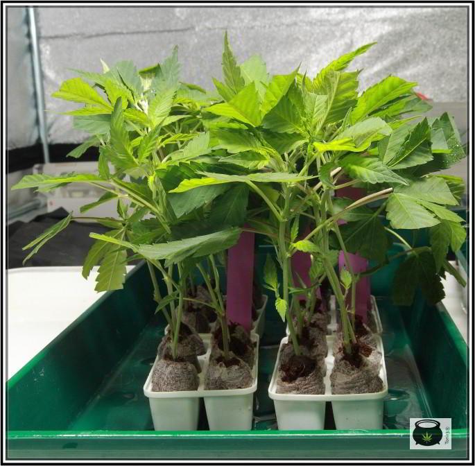 Guía cómo hacer esquejes de marihuana: Clones y esquejes de plantas de marihuana 5