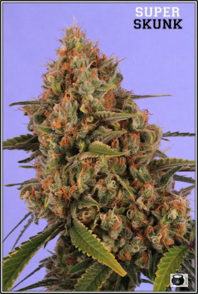Variedad de marihuana Super Skunk selección la joya 4