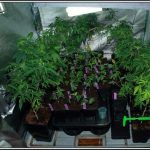 Cómo clonar y hacer esquejes de marihuana – Consejos clave y técnica