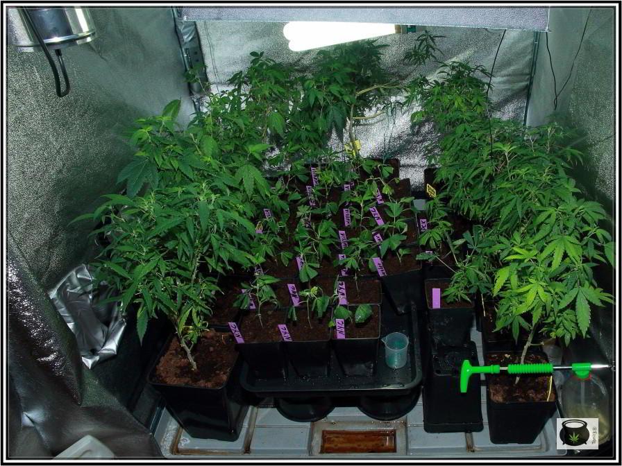 clones y esquejes de plantas de marihuana 1