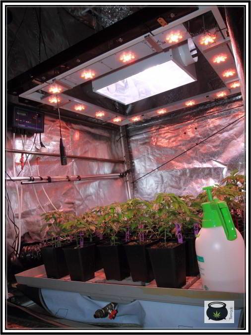 Cultivo interior plantas de marihuana crecimiento con sodio led producción óptima