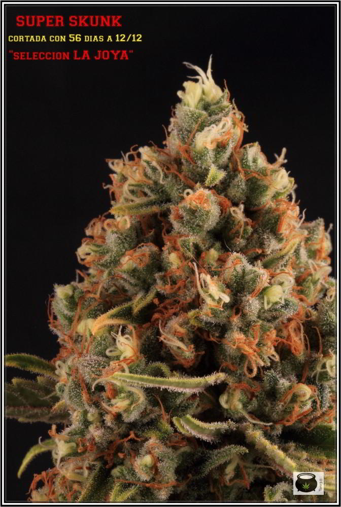 Variedad de marihuana Super Skunk selección la joya 5