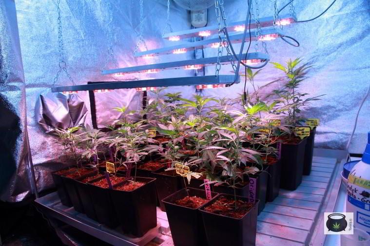 Cultivo interior marihuana con LED en crecimiento