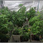 3- 26-8-2013  Comienza el cultivo de marihuana orgánico con coco
