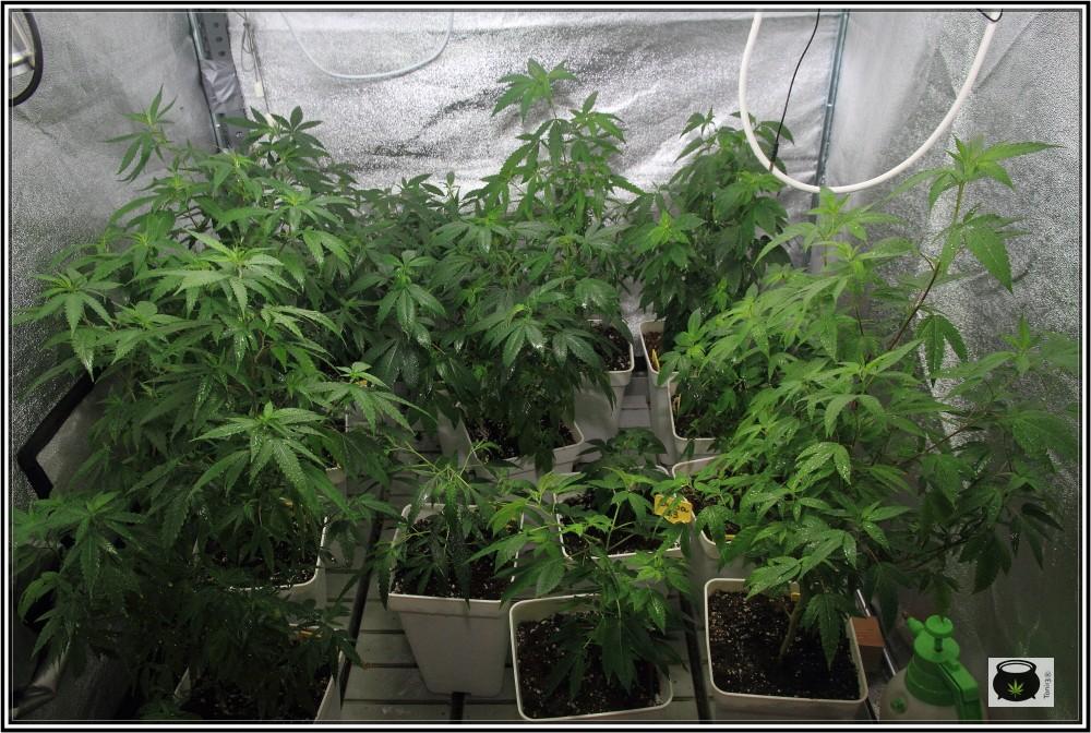 3- 26-8-2013 Comienza el cultivo de marihuana orgánico con coco 1