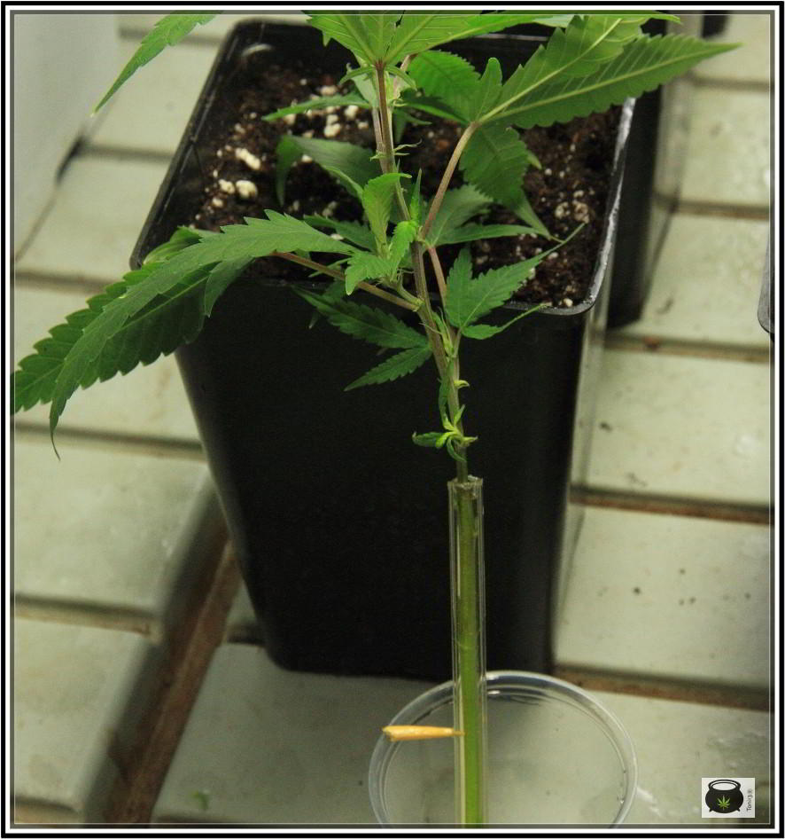 Cómo enraizar esquejes de marihuana directamente en contenedor o maceta.