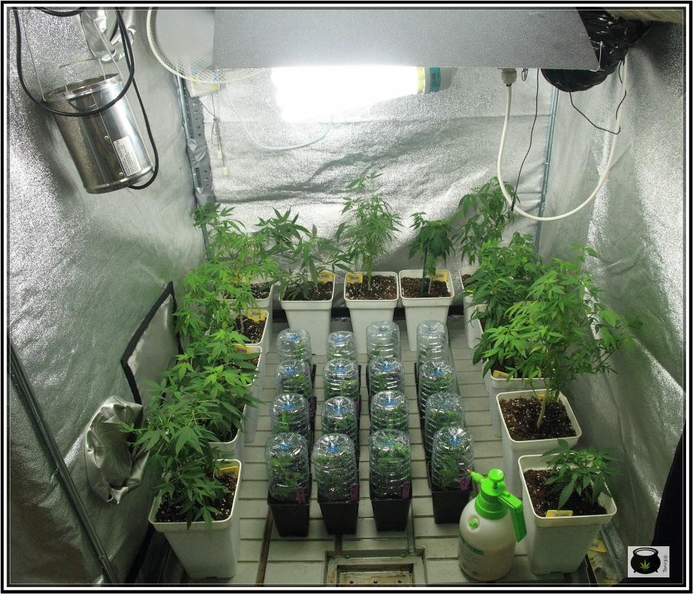 5- 28-8-2013 Enraizando plantas de marihuana directamente en contenedor de 1 litro 2