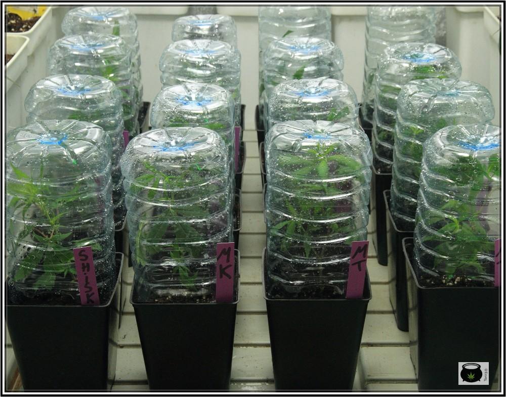 5- 28-8-2013 Enraizando plantas de marihuana directamente en contenedor de 1 litro 3