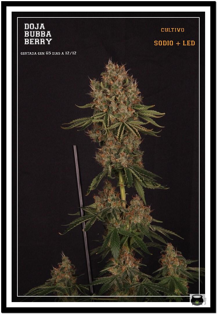 Variedad de marihuana Doja Bubba Berry 1