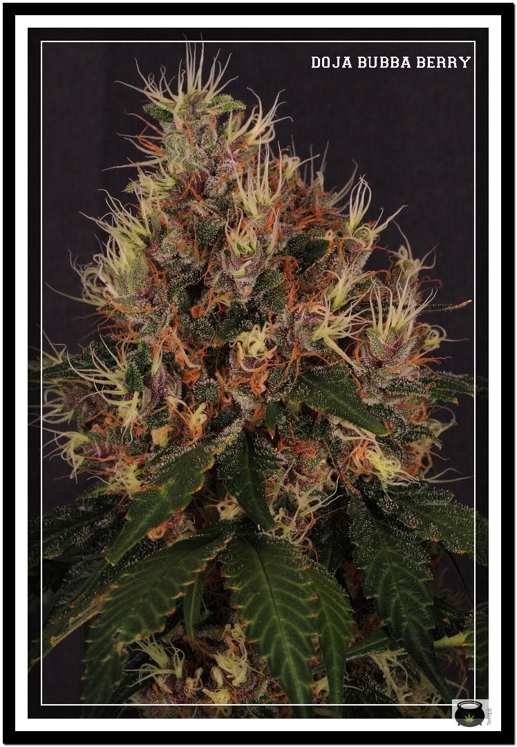 Variedad de marihuana Doja Bubba Berry 4