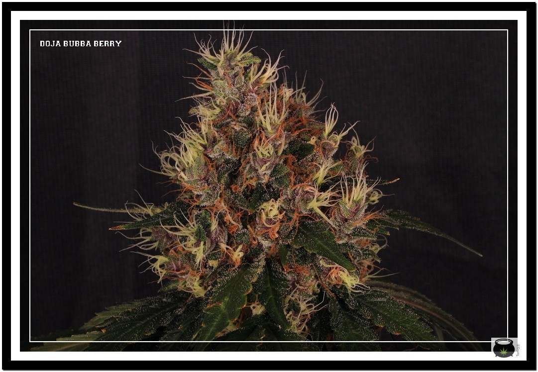 Variedad de marihuana Doja Bubba Berry 5
