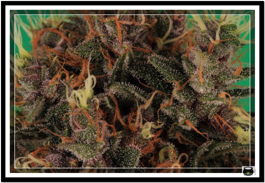 Variedad de marihuana Doja Bubba Berry 6