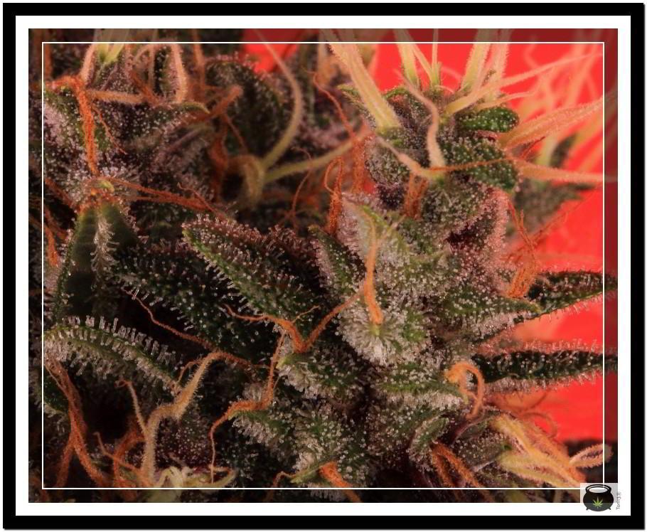 Variedad de marihuana Doja Bubba Berry 7