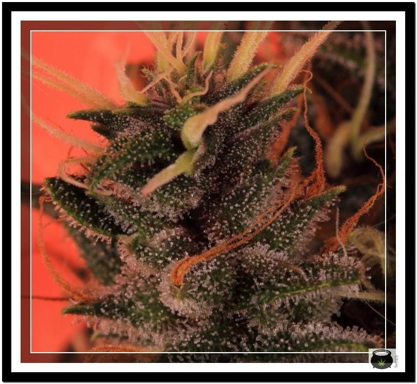 Variedad de marihuana Doja Bubba Berry 8