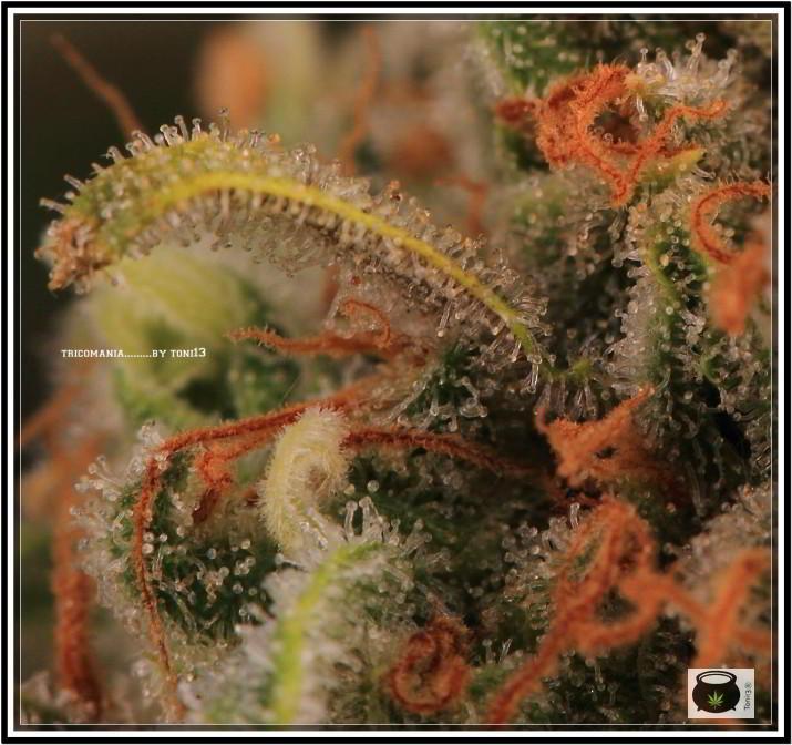 Variedad de marihuana Super Skunk selección la joya 10