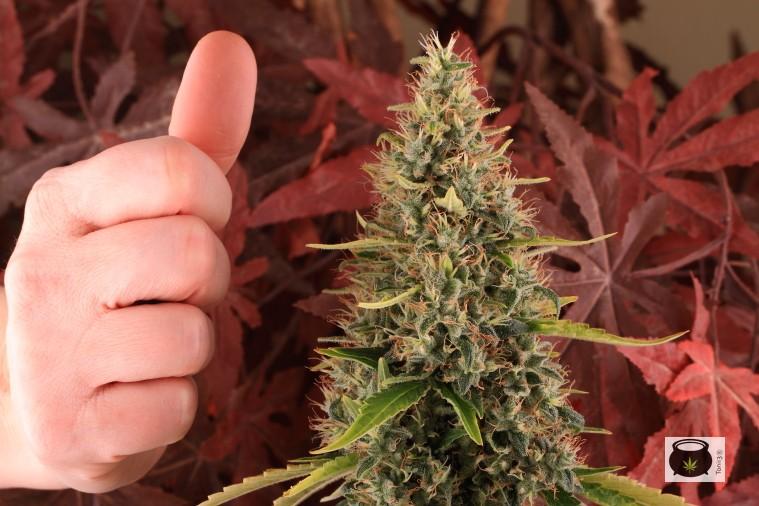 Punta de planta de marihuana, producción cultivo interior de marihuana 1