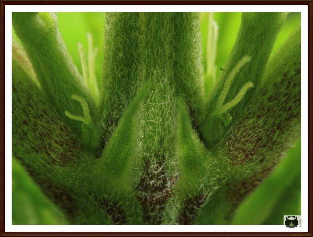 Tricomas no glandulares en planta de marihuana 2
