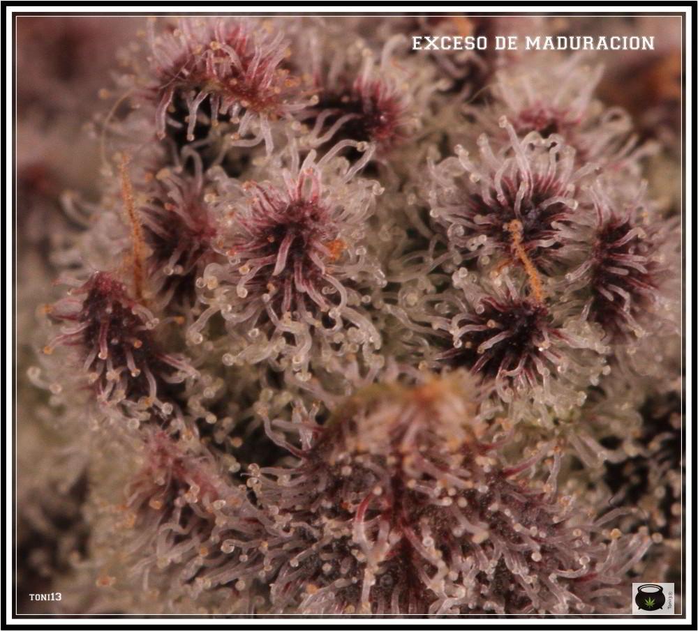 tricomas de planta de marihuana con exceso de maduración