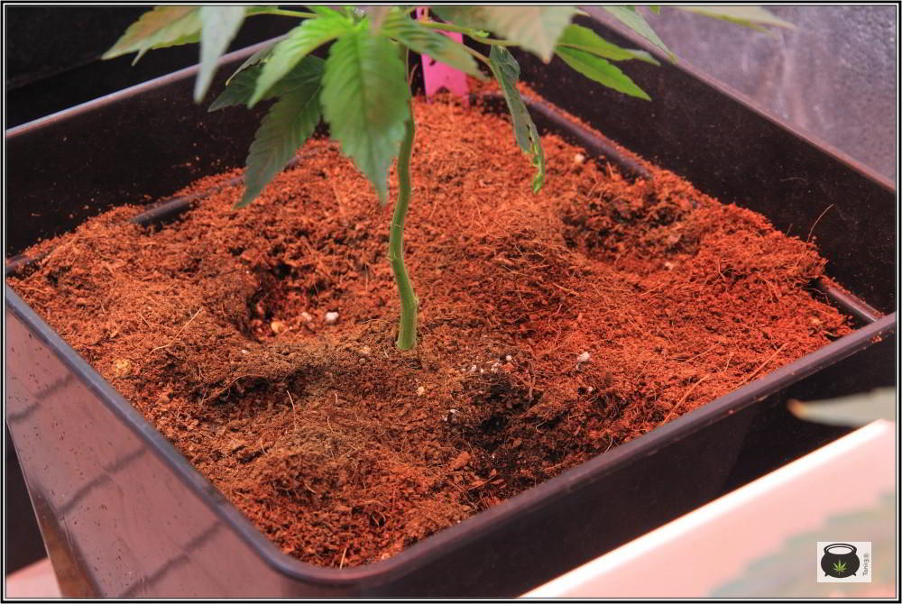 17- 27-9-2013 Tres de tres, Cultivo de marihuana organicoco, allá vamos 4