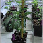 14- 17-9-2013 1 de 3… quedan 2 semanas para pasar a floración en el cultivo